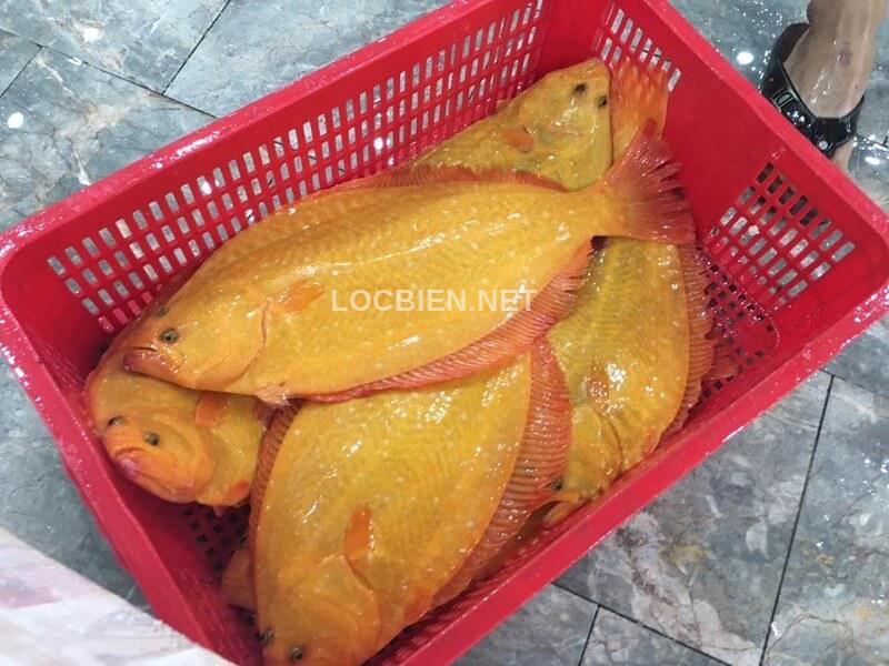bán cá bơn vàng hàn quốc