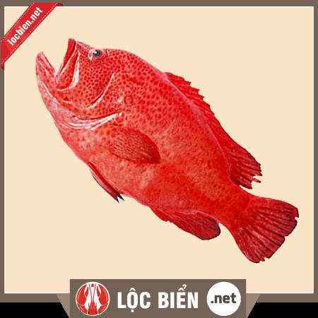 cá mú đỏ sống